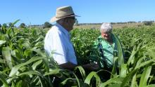 Ausplow representative Keith Ryan (left) and NSW farmer Greg Chappell examine a flourishing forage sorghum crop. Greg now gets two cuts which he attributes to the DBS>